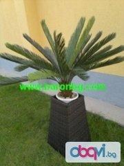 Палма Цикас, височина 1.10м