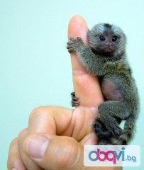 Бебе мармозетки маймуни за осиновяване