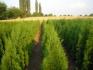 Продавам  Декоративна вечнозелена  иглолистна растителност!