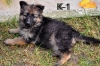 малки кученца - немска овчарка