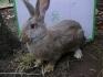 Питомни зайци за колене най-голените и най- хубавите