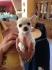 Чихуахуа кученца за осиновяване