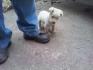 Предлагам перфектни мъжки кученца порода лабрадор . Кученцата са обезпаразитени