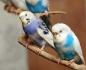 вълнисти папагали