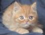Персийско късокосместо мъжко котенце