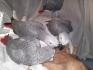 Говорейки африкански сив   папагали   за   Продава 200 €