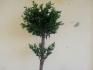Маслиново дръвче с дебело стъбло