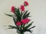 Амарилис с розови цветове 115см