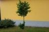 Маслиново дръвче, височина 1.80см