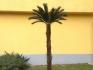 Палма Цикас височина 2.50м