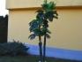 Палма Феникс с три стръка