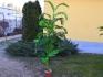 Финикова палма с три стръка