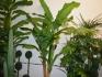 Бананова палма четворка