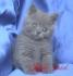 Британски късокосмести сини и лилави котенца от развъдник