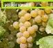 грозде МУСКАТ И РИЗЛИНГ , реколта 2015