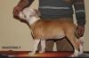 Американски Стафордшир Териер - кученца