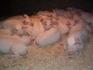 Продавам малки прасенца