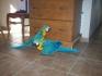 синьо-жълта ара папагали мъжки и женски