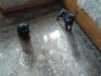 Чистокръвни руски ротвайлери на 40 дни, ваксинирани