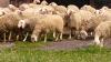 Овцевъдна ферма търси работници