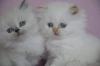 Продаваме котенца от Уникални и изключително ценни породи! ! ! - Оригиналната Персийка, Меконгски Бобтейл,...