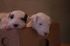 Английски бултериери (English Bull Terriers)