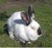 Продавам зайци за разплод или за клане