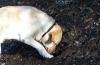 Обучение на кучета за търсене на трюфели