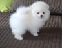Померан кученца за осиновяване