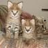 F1 Савана котенца за осиновяване.