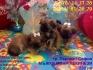 ОСТАНА 1 Мъжки миниатюрни кученца порода Пекинез - МИНИ