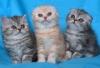 Клепоухи късокосмести котенца