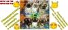 Кученца декоративна порода Кралски Пекинез - Мъжки и Женски