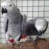 Облечени двойки африкански грозни папагали за добър дом,