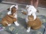 bulldogs male and female
