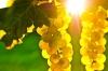 Продавам грозде – Мускат, Каберне, Памид