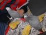 говорейки чифт африкански сиви папагали