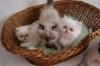 безплатно Начало мъжки и женски Персийски коте за продажба,
