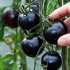 Предлагам  разсад от уникални черни домати