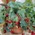 Предлагам разсад саксийна ягода