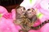 Бебешки маймуни мармозет за осиновяване.