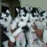 Сибирски кученца за осиновяване.