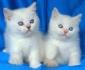 Британски мъжки котенца със сини очи