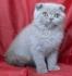 Клепоухо мъжко котенце