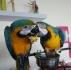 Синя и златна ара за осиновяване.