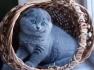Продава британско котета шоу класс