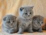Продава британски и шотландски котета